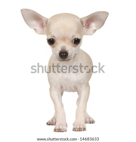 chihuahua (3 months) in front of a white background