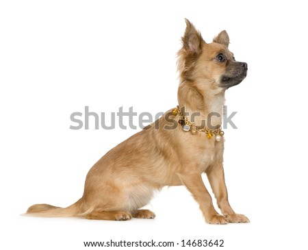 chihuahua (18 months) in front of a white background