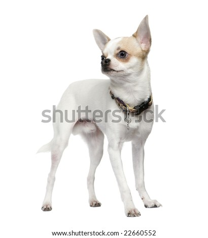 chihuahua (6 months) in front of a white background