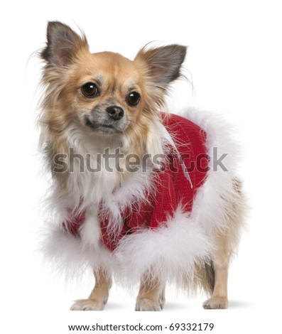Chihuahua (17 months old) - stock photo