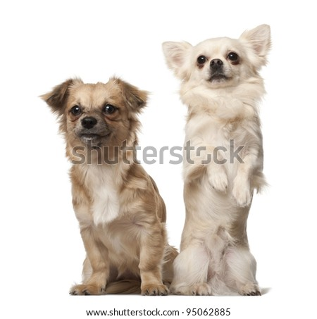 Chihuahua, 18 months old, and Chihuahua puppy, 6 months old, on hind legs in front of white background - stock photo