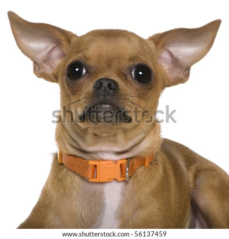 Chihuahua, 6 months old, close up against white background - stock photo