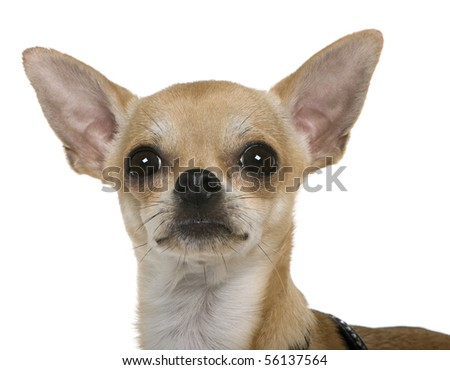 Chihuahua, 12 months old, close up against white background - stock photo