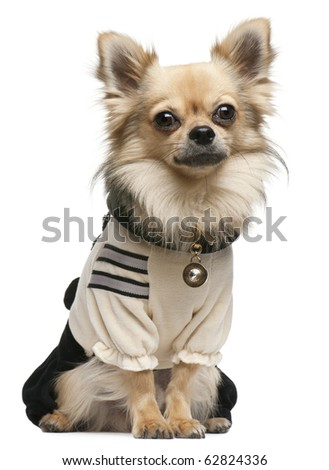 Chihuahua,18 months old, dressed up and sitting in front of white background - stock photo
