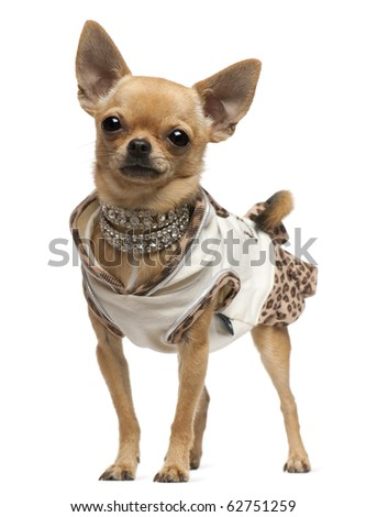 Chihuahua, 14 months old, dressed up and standing in front of white background - stock photo