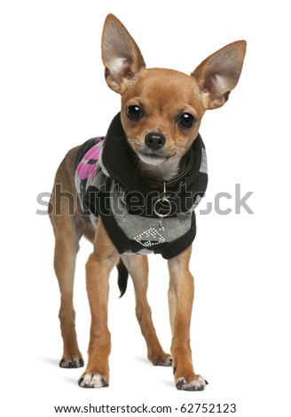 Chihuahua, 7 months old, dressed up and standing in front of white background - stock photo