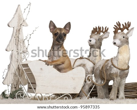Chihuahua, 5 months old, in Christmas sleigh in front of white background - stock photo