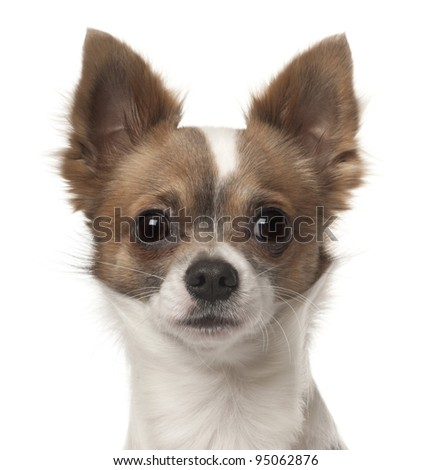 Chihuahua, 9 months old, in front of white background - stock photo