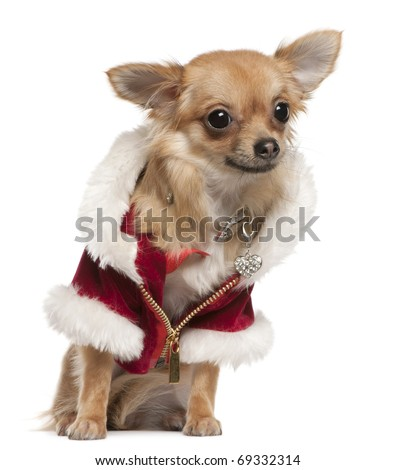 Chihuahua, 9 months old, in Santa coat, sitting in front of white background - stock photo