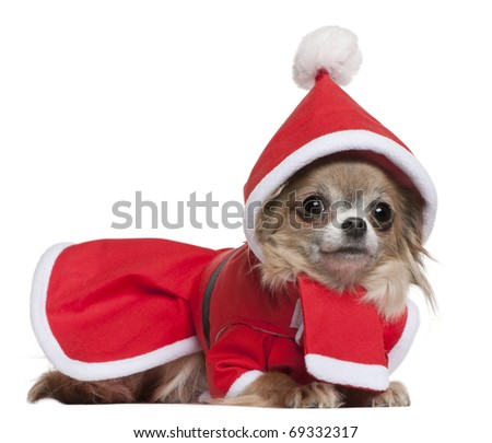 Chihuahua, 11 months old, in Santa outfit, lying in front of white background - stock photo