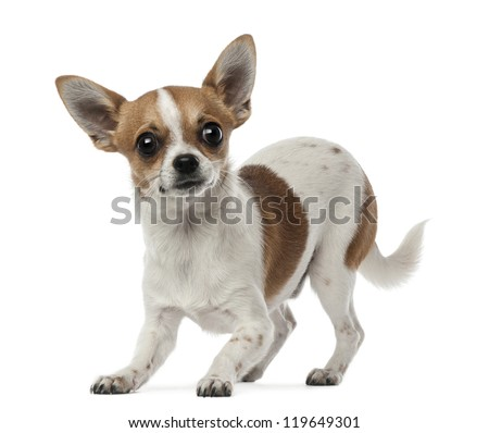 Chihuahua, 8 months old, looking at camera against white background - stock photo