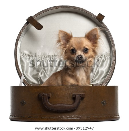 Chihuahua, 10 months old, sitting in round luggage in front of white background - stock photo