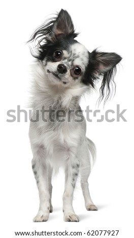 Chihuahua, 12 months old, standing in front of white background - stock photo