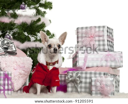 Chihuahua, 8 months old, wearing Santa outfit with Christmas gifts in front of white background - stock photo