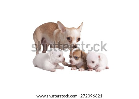 Chihuahua mother and her puppies in front of white background - stock photo