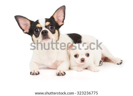 Chihuahua mother and its white puppy together - stock photo