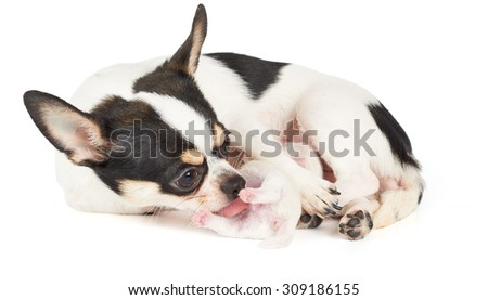 Chihuahua mother takes care of its child                          - stock photo