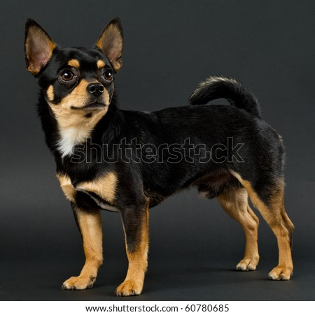 chihuahua on a gray background - stock photo