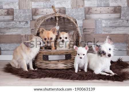 Chihuahua on background - stock photo