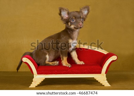 Chihuahua on couch sofa on gold background - stock photo