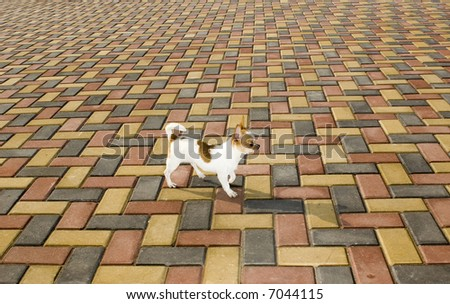 chihuahua on patterned tiles outdoor