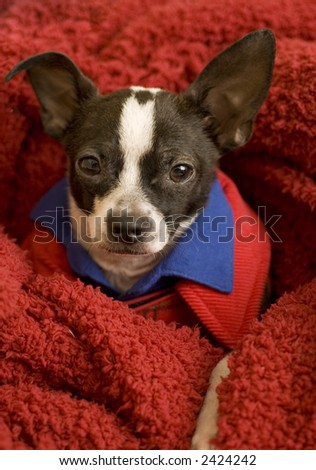Chihuahua on red blanket