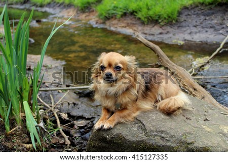 Chihuahua on stone in creek