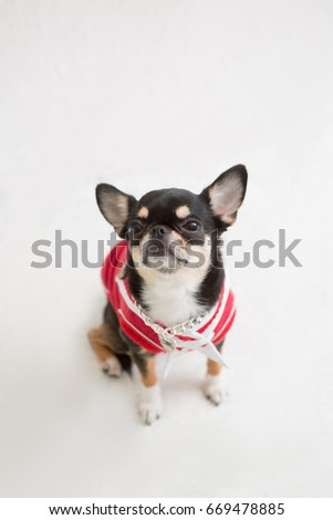 chihuahua on the white background