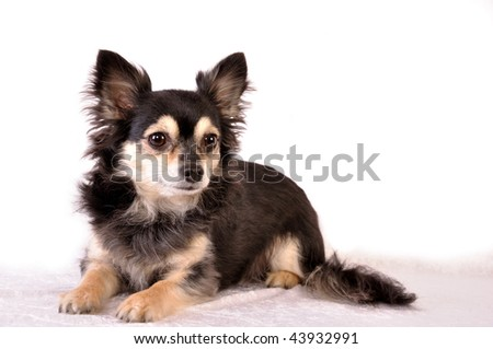 chihuahua on white background - stock photo