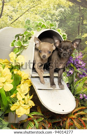 Chihuahua Pair in Mail Box - stock photo