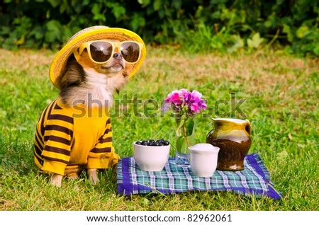 Chihuahua picnic in summer garden - stock photo
