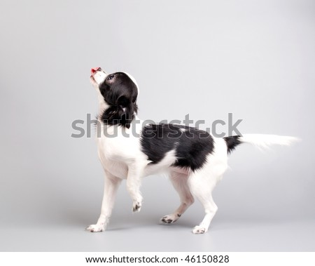Chihuahua playing - stock photo