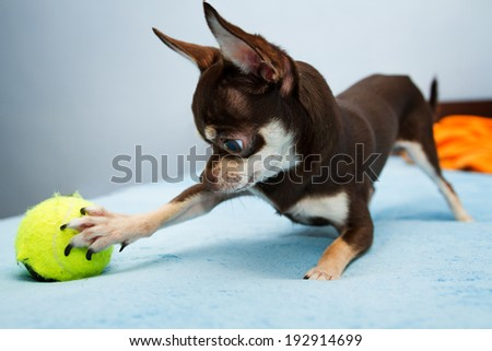 Chihuahua playing with small ball - stock photo