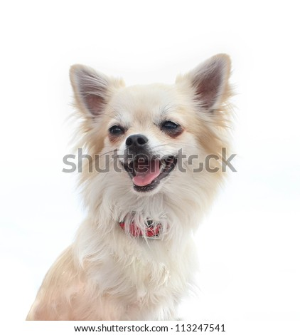 Chihuahua portrait in front of white background