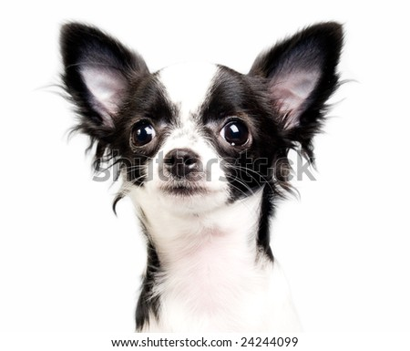 Chihuahua portrait isolated on white - stock photo