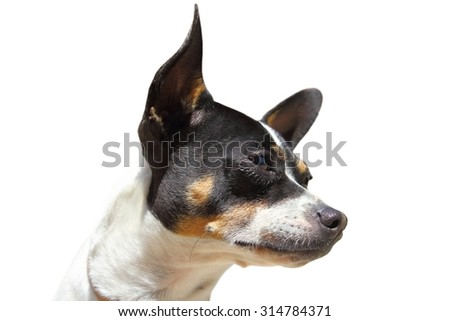 chihuahua portrait isolated on white background - stock photo