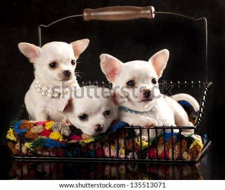 Chihuahua puppies - stock photo