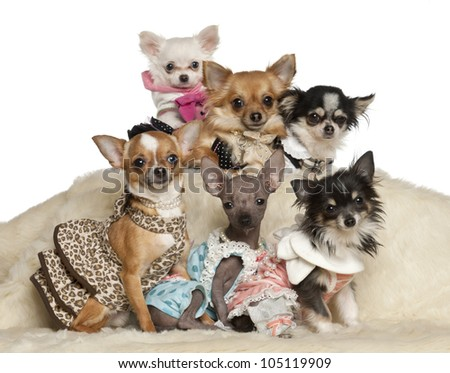 Chihuahua puppies and adults in clothing sitting against white background