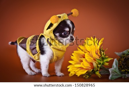 Chihuahua puppies, cute, small, little white, tiny - stock photo