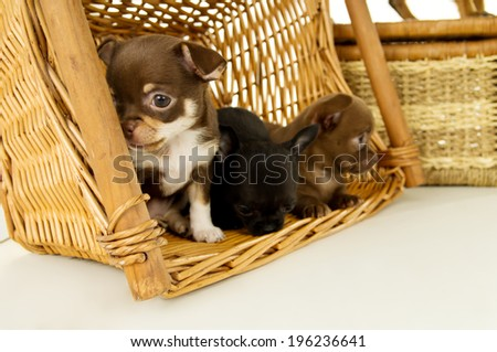 chihuahua puppies for background baskets - stock photo