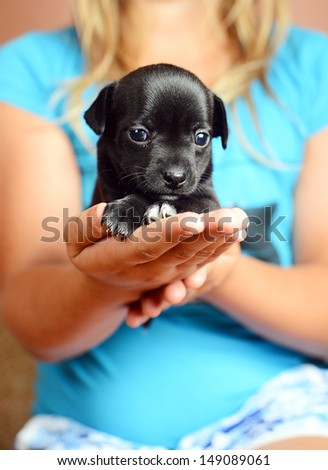 chihuahua puppies one month - stock photo