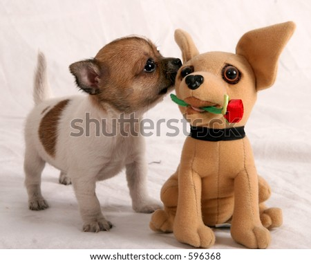 Chihuahua puppies smelling a chihauhau stuffed animal - stock photo
