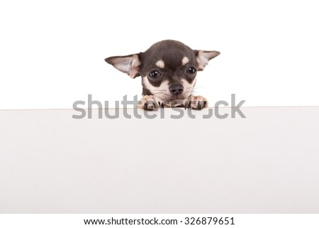 Chihuahua puppy above white banner. isolated - stock photo