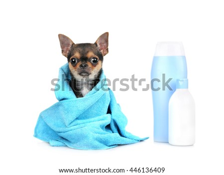 Chihuahua puppy after bath isolated on white - stock photo
