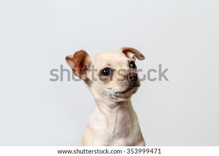 Chihuahua puppy against white background - stock photo