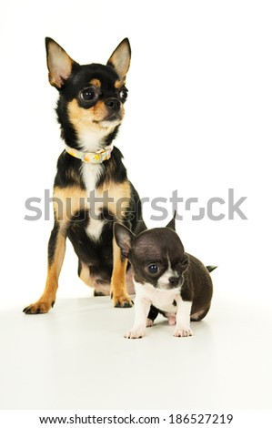 Chihuahua puppy and his mother - stock photo