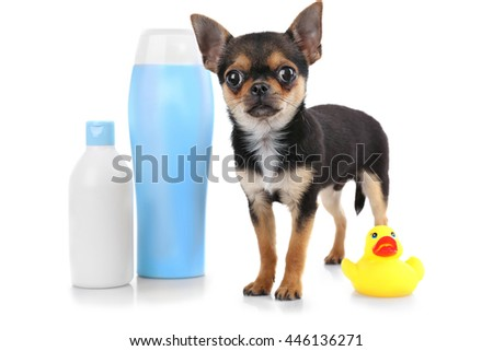 Chihuahua puppy and shampoo bottle isolated on white