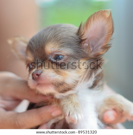 chihuahua puppy being held in hand