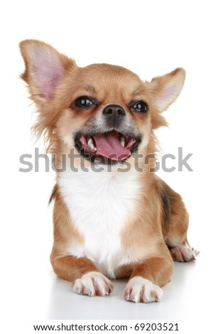 Chihuahua puppy brown with tongue on a white background - stock photo