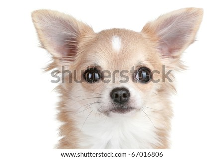 Chihuahua puppy close-up portrait on white background